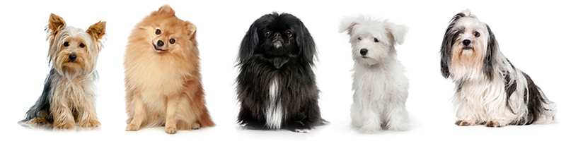 Long haired toy dogs