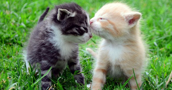 Cute Kittens Kissing