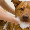 How to bath your canine?