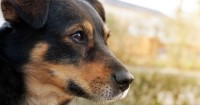 Dog Dementia: Symptoms and Treatments