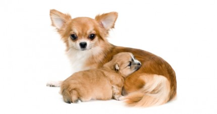 Dog Pregnancy and Birth