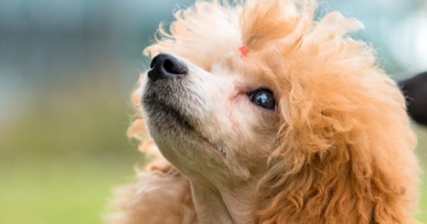 Dogs That Do Not Shed Are These Hypoallergenic Dogs | Dog Breeds ...