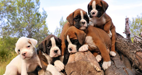 Purebred Puppies Boxers
