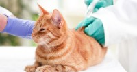 How to Give Insulin to a Cat?