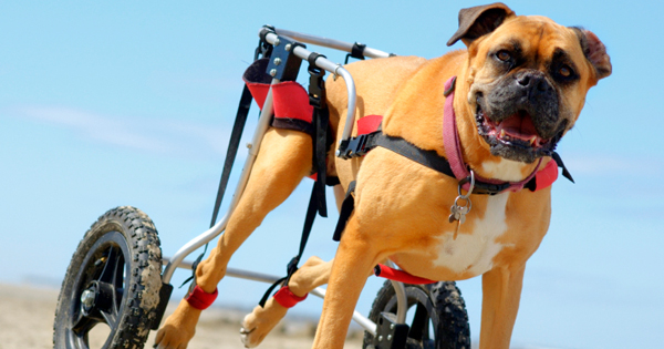 Keeping Your Disabled Pet Healthy and Happy
