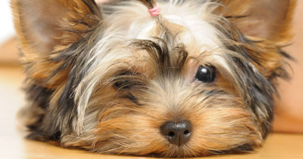 Understanding Anemia In Dogs