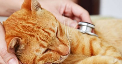 Prevention Of Heartworms In Cats