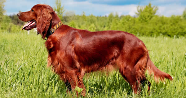 Irish Dog Breeds in the Spotlight for St. Patrick's Day