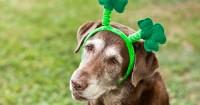 Pet Safety Tips St Patricks Day