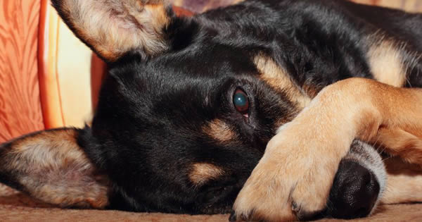 Pancreatitis in Dogs