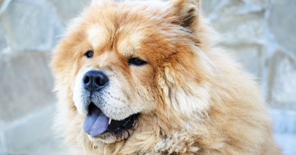 Popular Mountain Dog Breeds