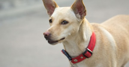 The World S Rarest Dog Breeds Today