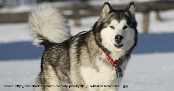 Alaskan Malamute - Read Dog Breed Profile!