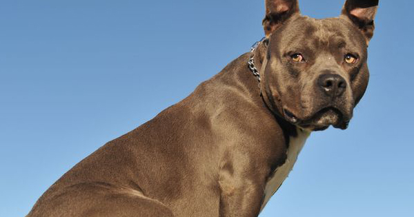 Are Pit Bulls Naturally Aggressive?