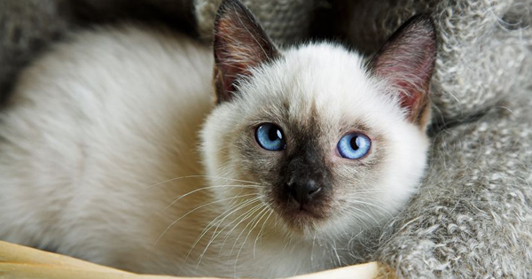 Siamese Cat Pet Name