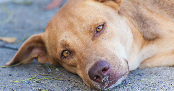 Autoimmune disease in dogs