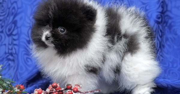 Black and White Pomeranian
