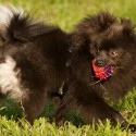 Is the Black Pomeranian a Mixed Breed?