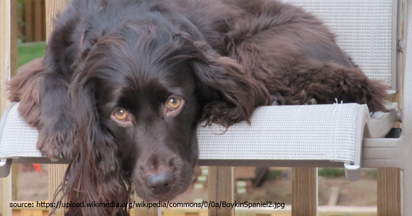 Boykin Spaniel - Read Dog Breed Profile!