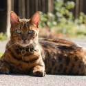 Hybrid Cats: The Best of Both Breeds