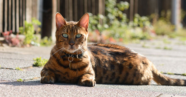 Hybrid Cats The Best Of Both Breeds