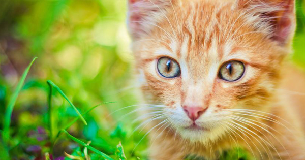 Miliary Dermatitis In Cats
