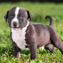 Pit bull Misconceptions