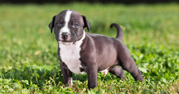 Misconceptions Of Pit Bulls