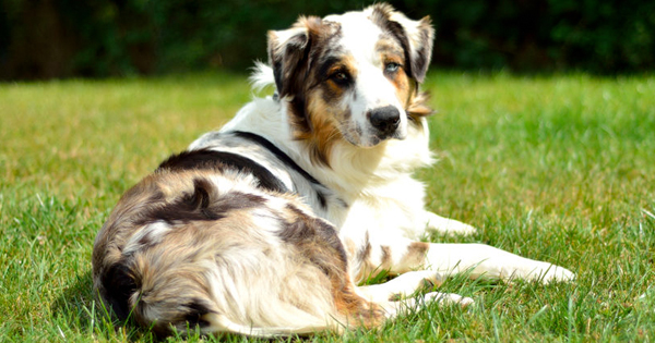 popular-herding-breeds