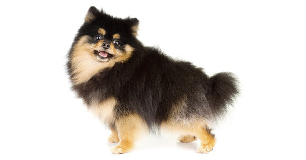 Black and Tan Pomeranian