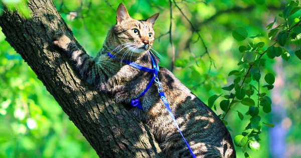Train a Cat to Walk On a Leash