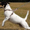 How to Train a Dog to Walk on a Leash?