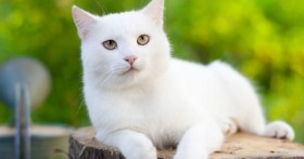 Treatment Options for Hyperthyroidism in Cats