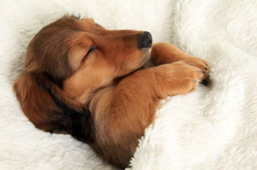 Dachshund puppy sleeping