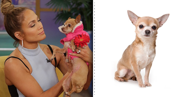 Jennifer lopez and her Chihuahua