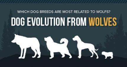 Wolf Like Dog Breeds Breeds Center Petpremium
