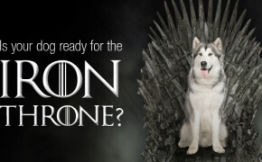 Syberian Husky sitting in the Iron throne from game of thrones