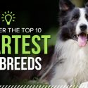 Ten Smartest Dog Breeds According to Breeders
