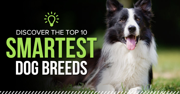 Discover the top 10 smartest dog breeds!