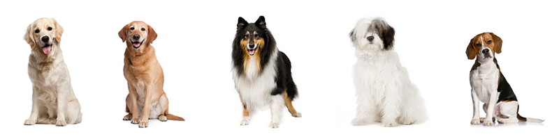 Top 10 Best Family Dogs