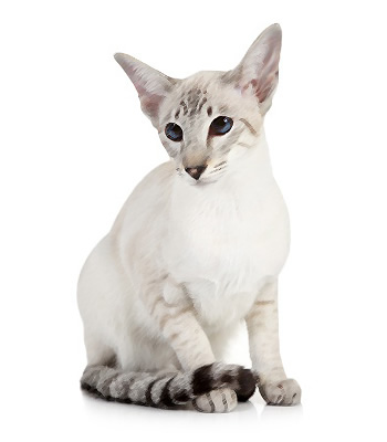 Colorpoint Shorthair Breed Information And Picture