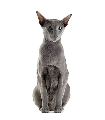 Asian Cat Breeds Breeds Center Petpremium