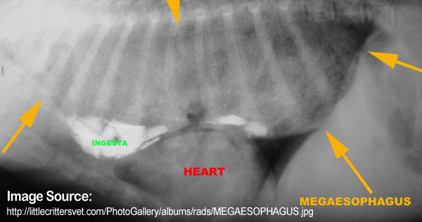 Megaesophagus (Enlarged Esophagus)