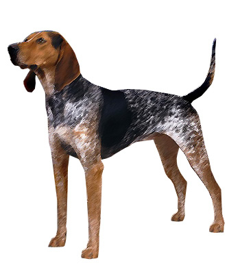 English Coonhound Breed Information and Pictures