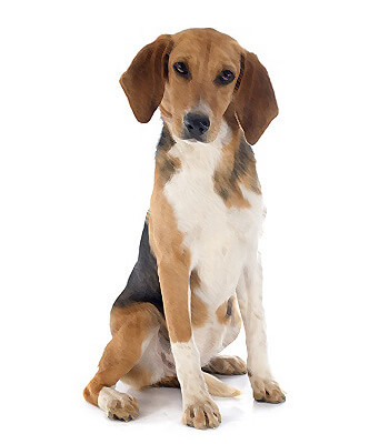 Beagle find your pet dog breeds picture dog breeds picture