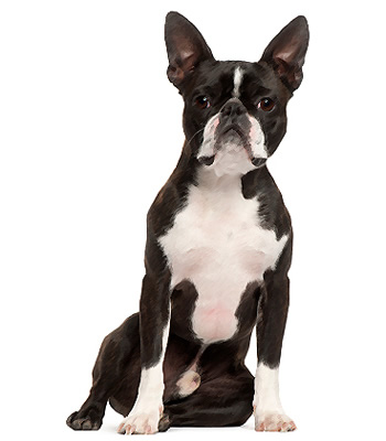 Boston Terriers – The Boston Terrier , widely known among dog ...