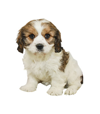 Cavachon Breed Information And Pictures