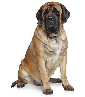 ... dog weighs in as the heaviest of big dog breeds although it may look