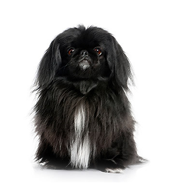 Pekingese The Also Came From China And Can Weigh Anywhere Seven To 15 Pounds As Well This Toy Dog Is Most Known For Its Short Legs