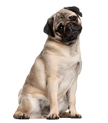 Great Chinese Chubby Adorable Dog - pug  Trends_694913  .jpg